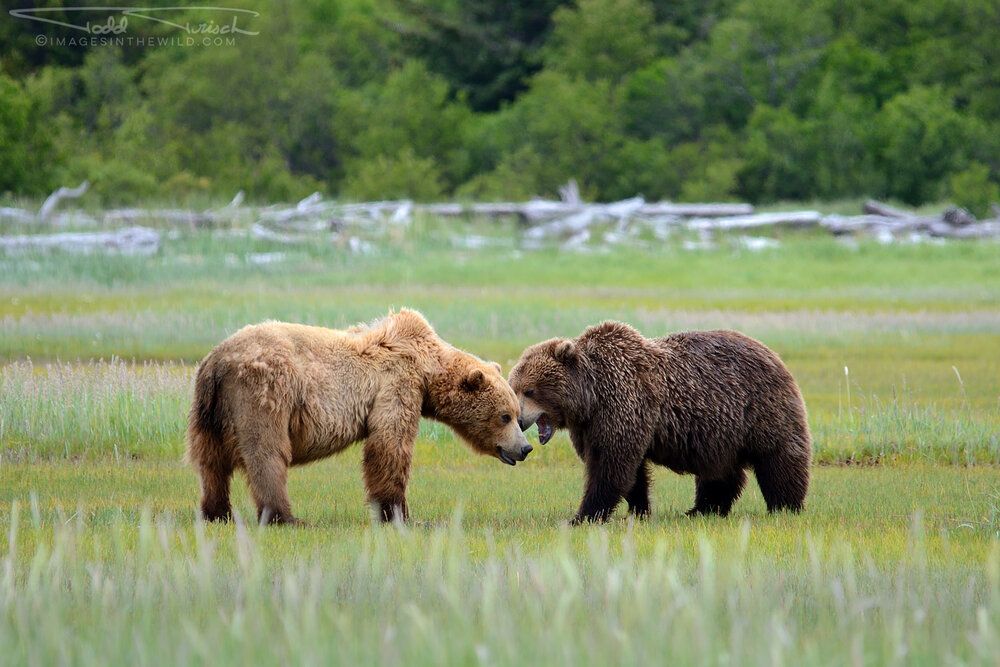 Brown Bear Encounter