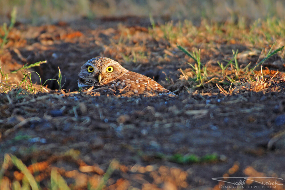 Davis Burrowing Owl