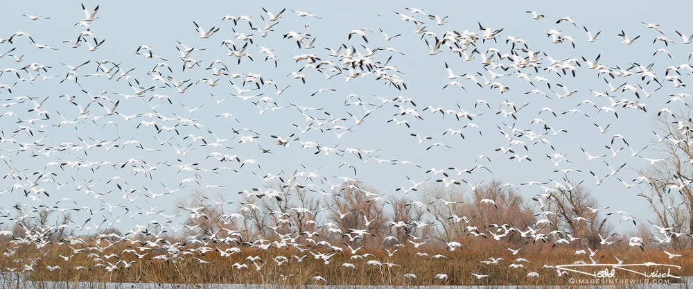 Snow Geese Escape