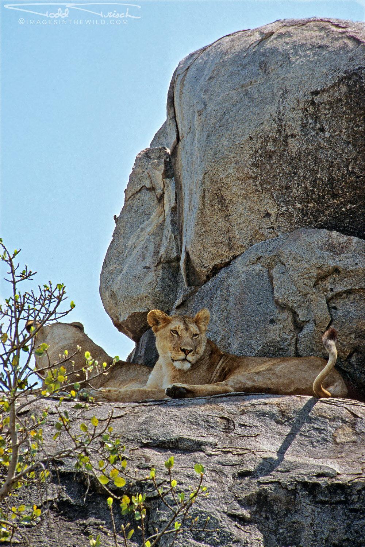 Serengeti Kopje Lions