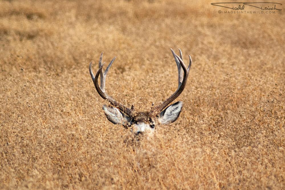 Hiding Buck