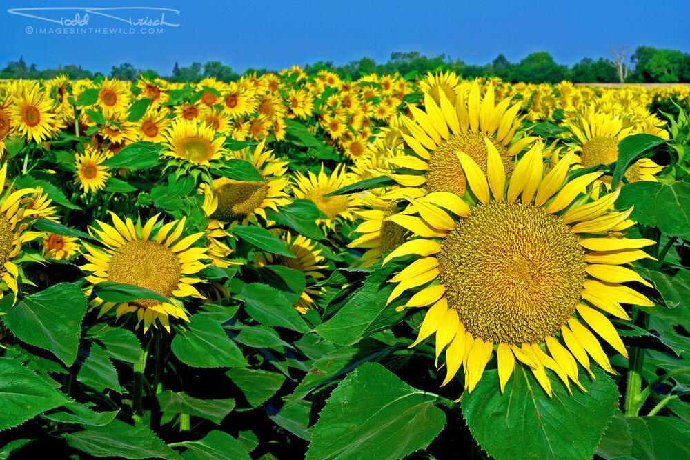 July Sunflowers