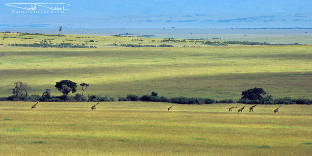 Masai Giraffe Line