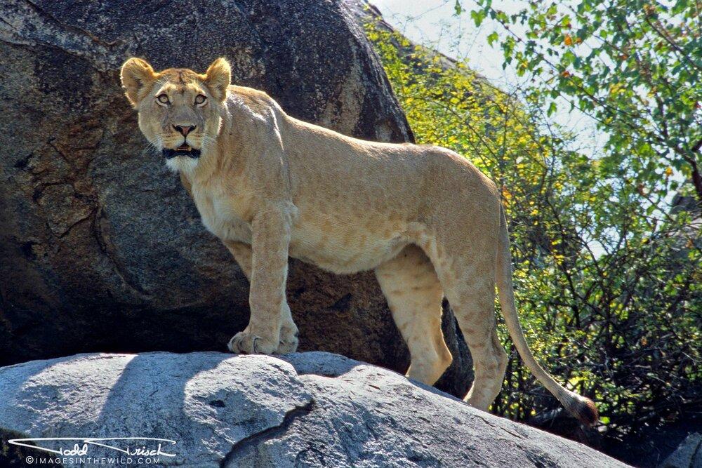 Boma Kopje Lioness, Serengeti