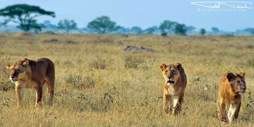 Serengeti Pride