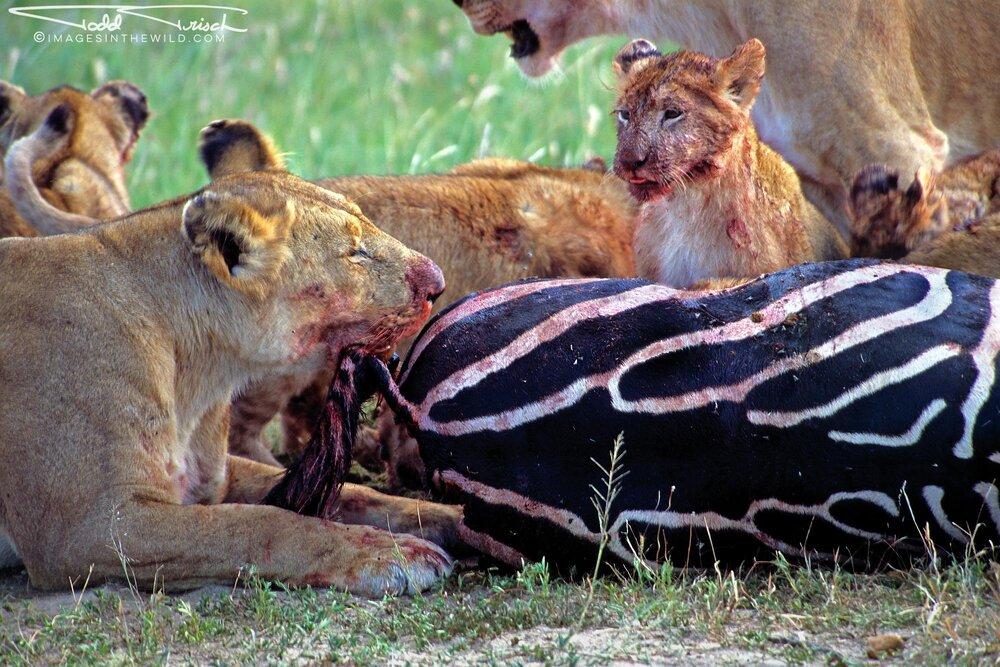 Observant Lion Cub