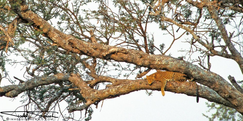 Lounging Leopard - Serengeti