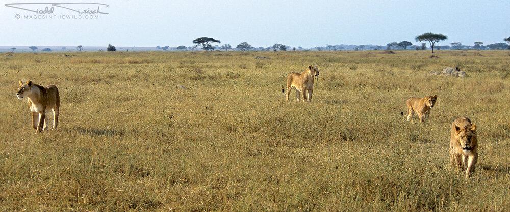 Lions Landscape