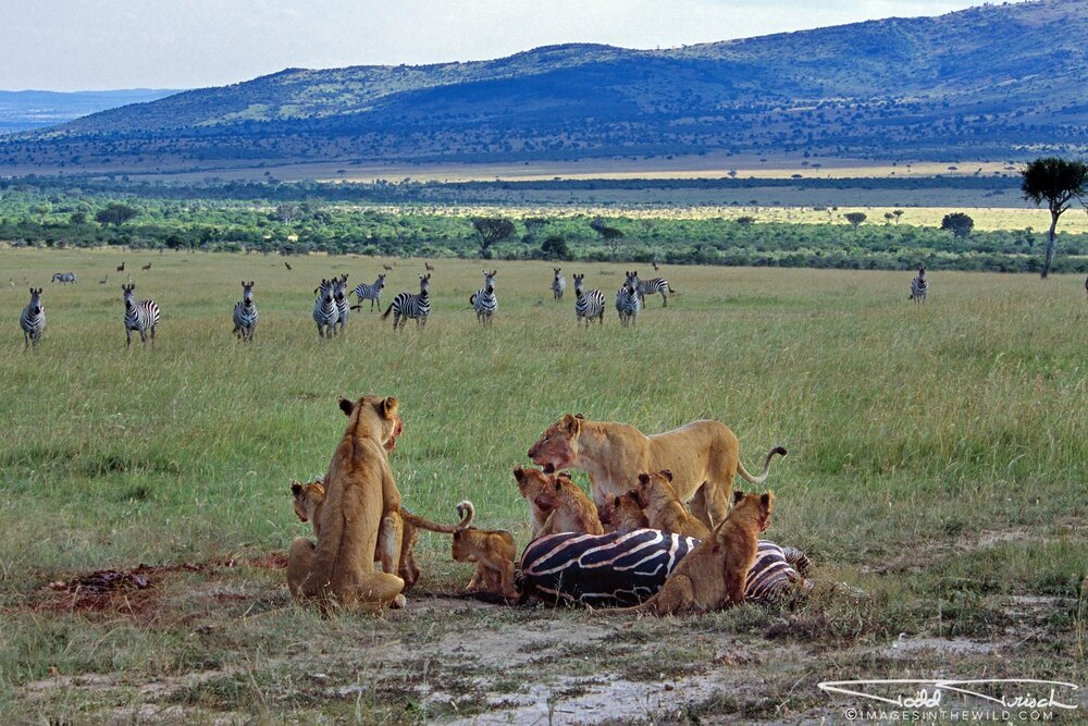 Lions with Zebra Kill