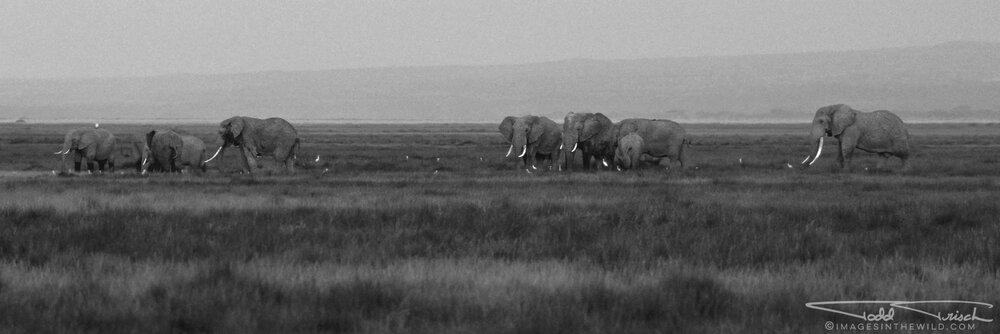 Amboseli Elephant Herd