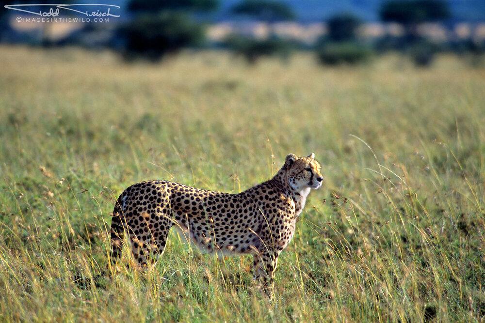 Loita Plains Cheetah
