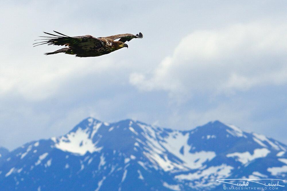 Soaring Eagle Over Homer