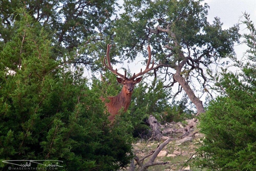 Red Deer Stag - Texas