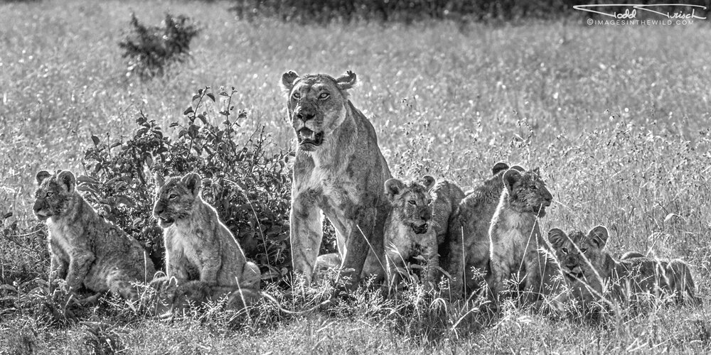 Mother Lion and Cubs