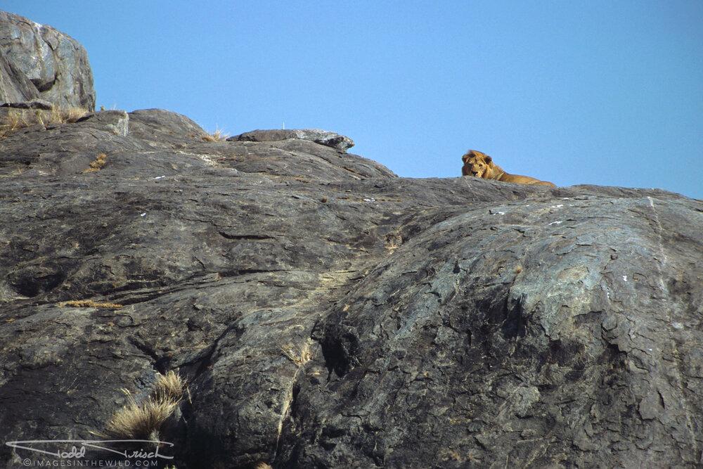 Simba Kopjes Lion