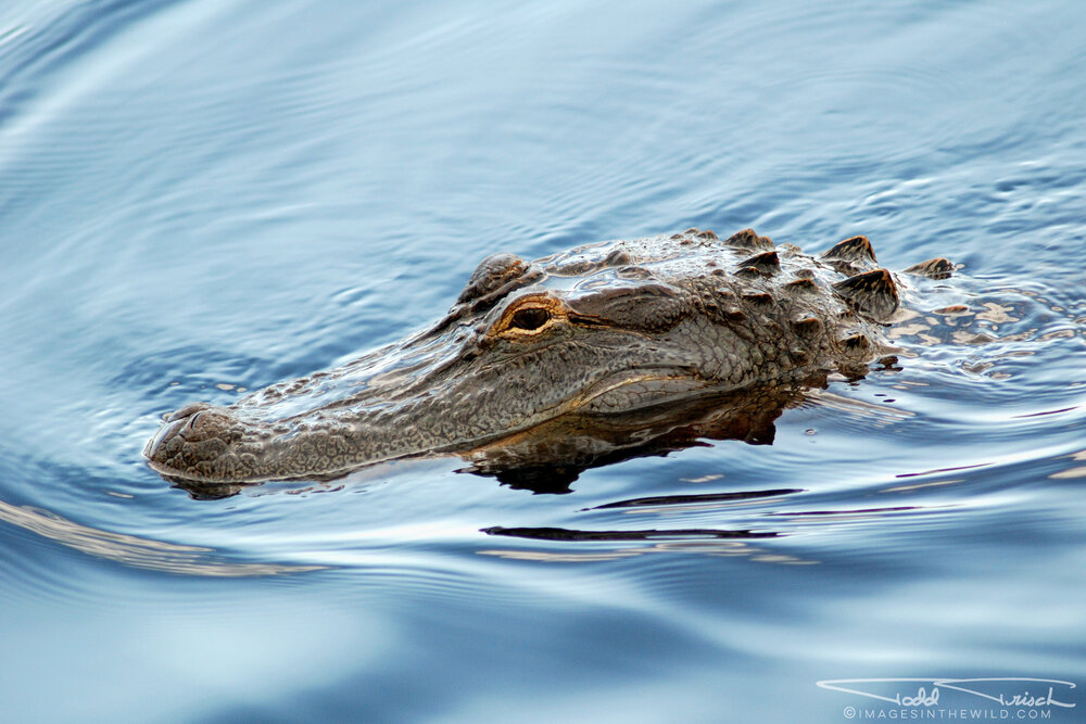 Alabama Alligator
