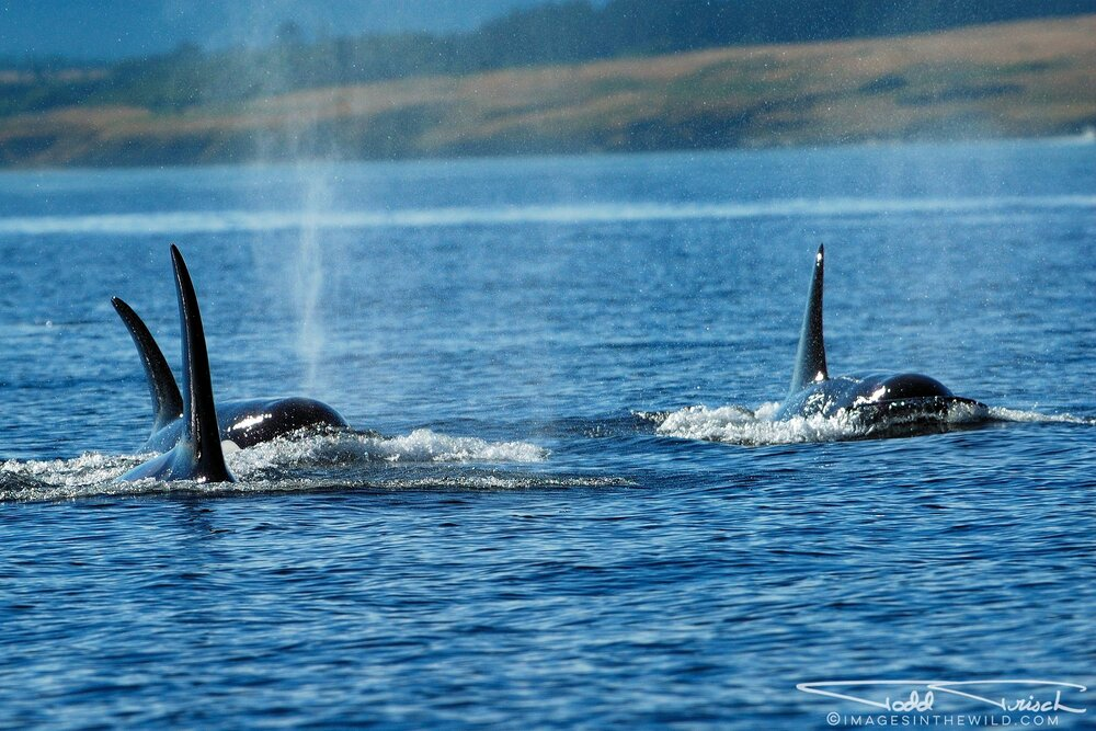 K Pod Orcas - San Juan Islands