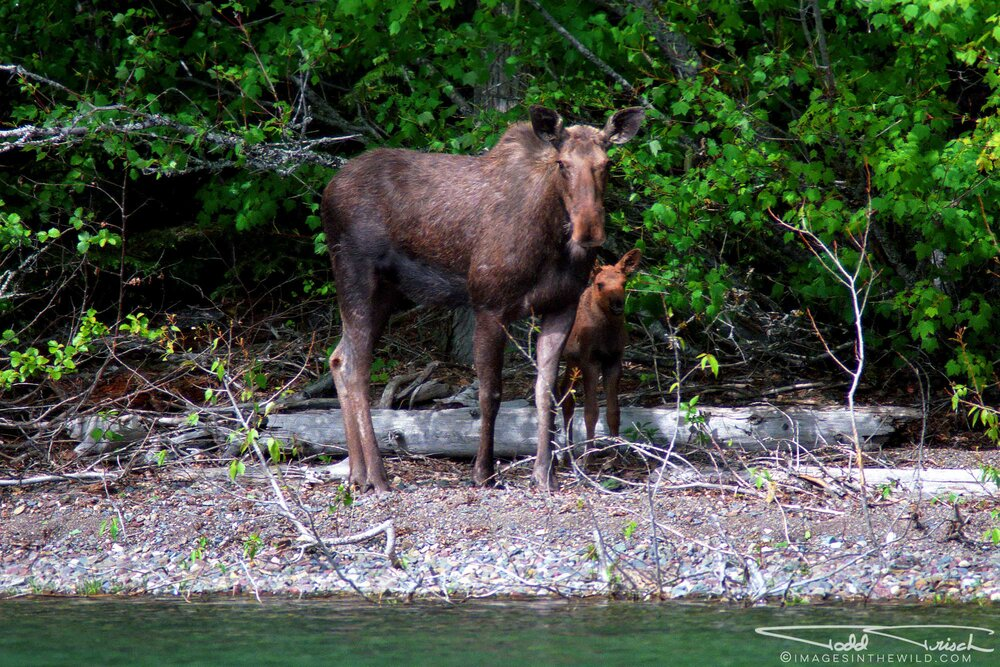Lake Mcdonald Moose and Calf