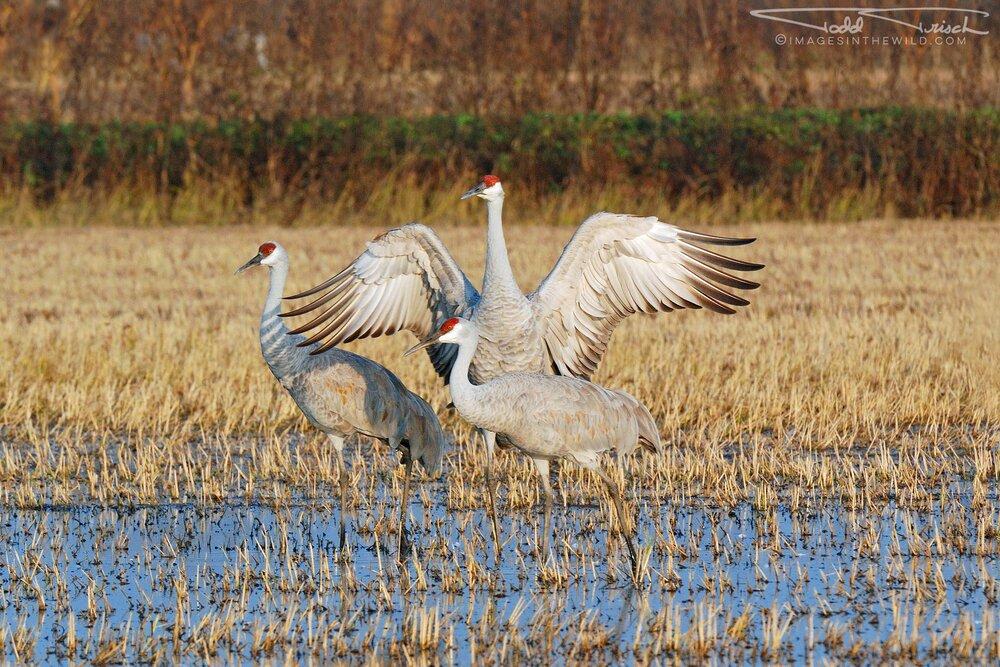 Cosumnes River Sandhill Cranes