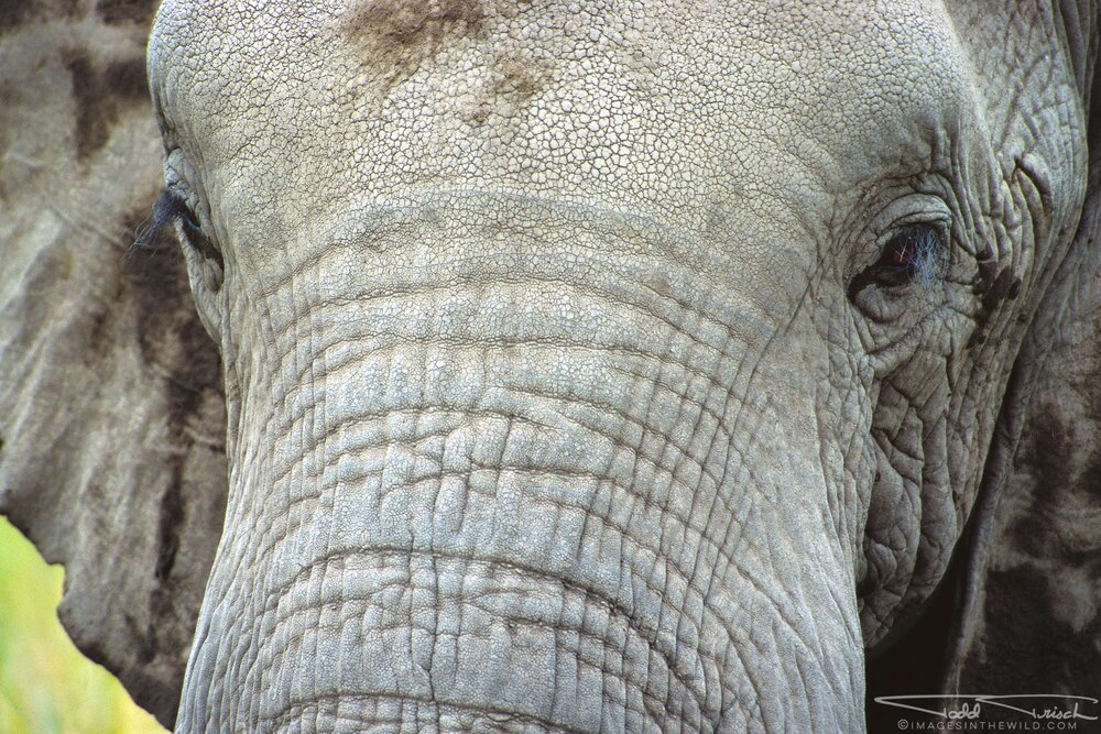 African Elephant Face