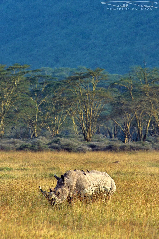 Lake Nakuru White Rhino