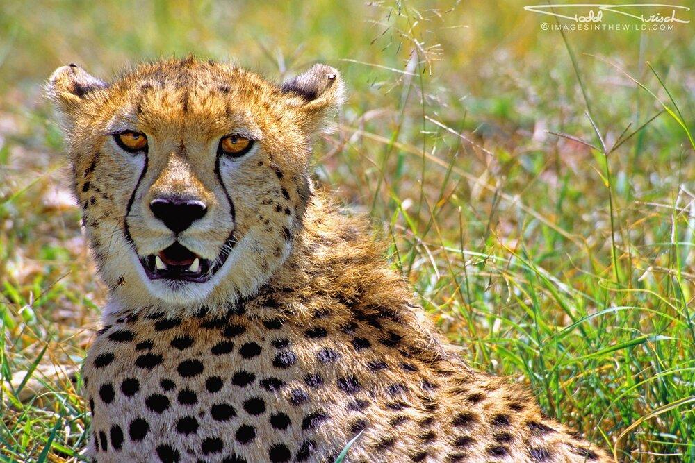 Cheetah Stare