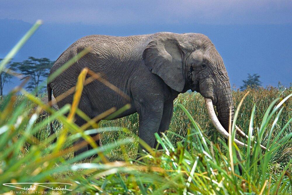 Ngorongoro Tusker