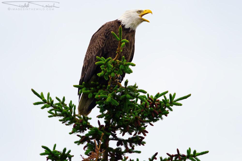 Homer Alaska Screeching Eagle
