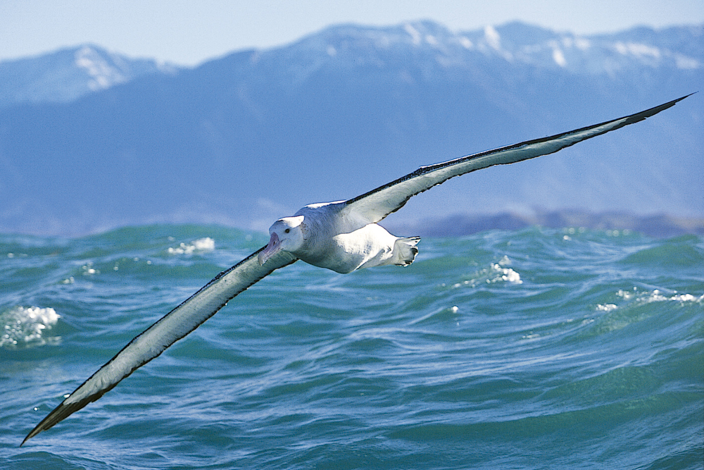 The Wandering Albatross, the world's largest living bird, has a wingspan of 3.5 meters.