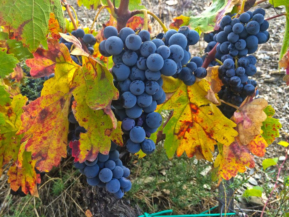 prachtige garnaxta druifjes aan de stok