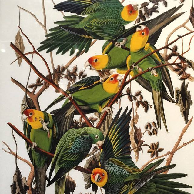 Carolina Parakeet painting by Audubon