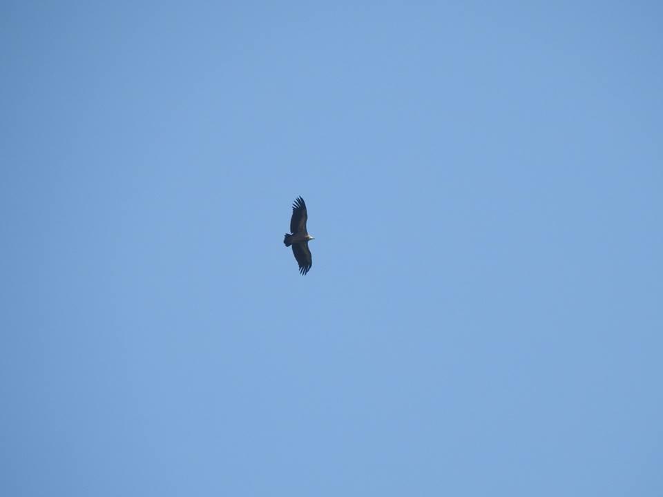 Eygptian vulture