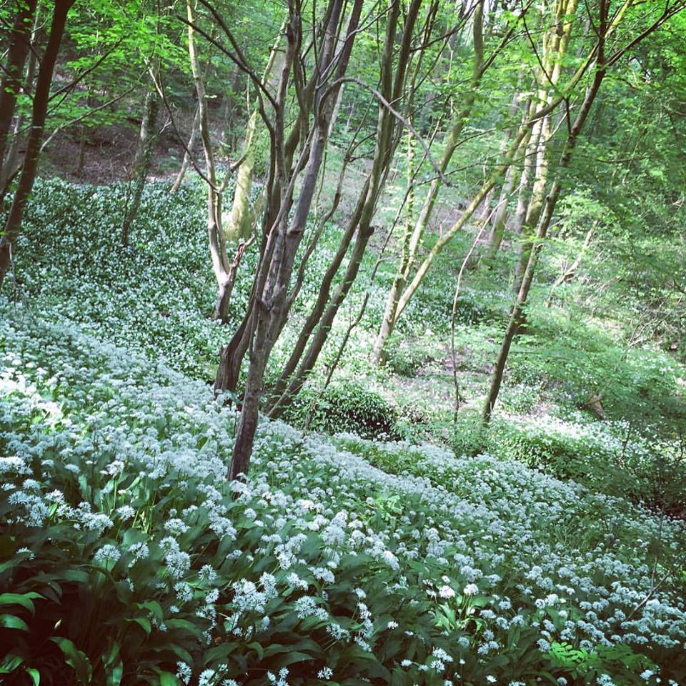 Wild garlic at our field site