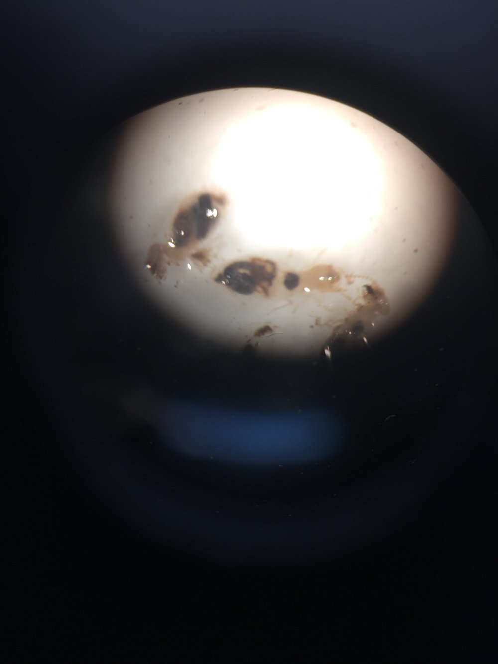 Termites down the microscope