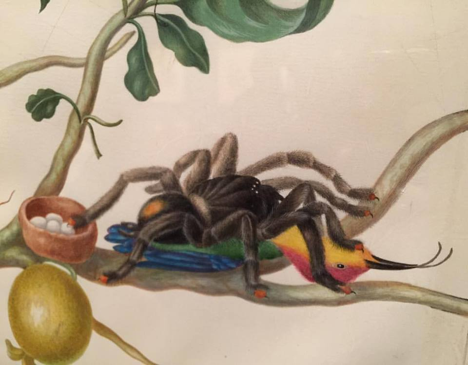 Bird eating spider