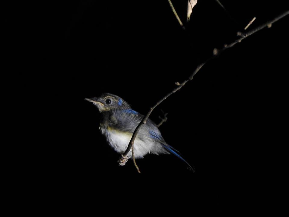 Juvenile flycatcher