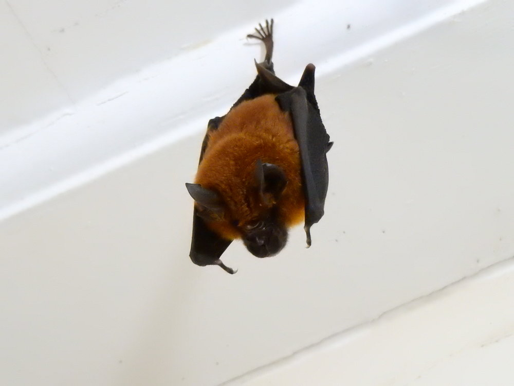 Bat living in our house