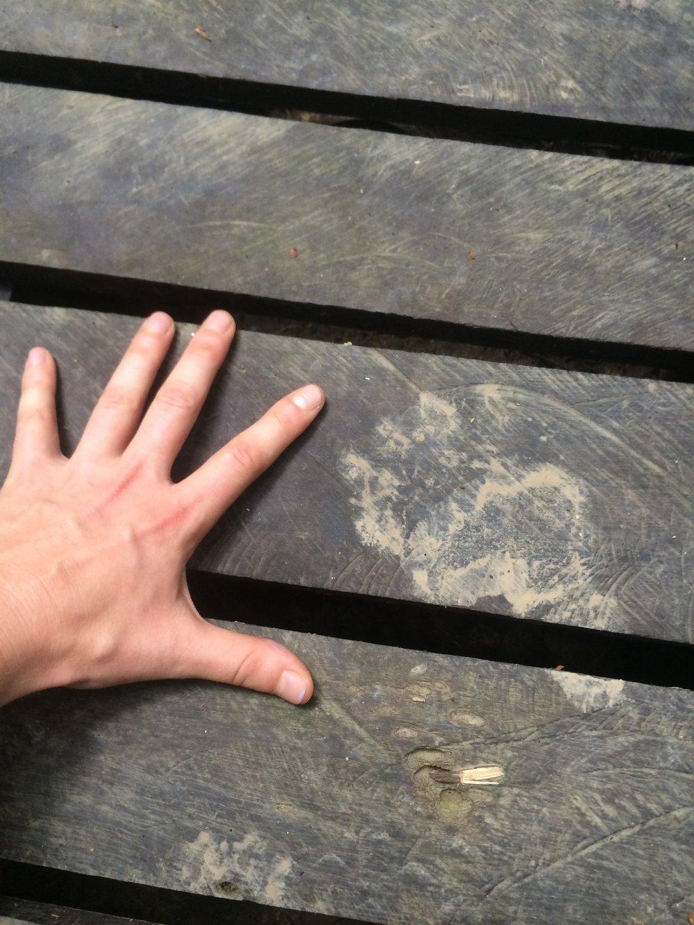 Sun bear foot print