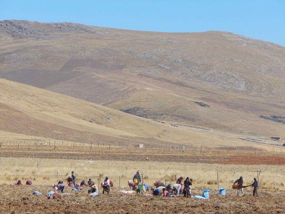 Maca harvesting over 15,000 feet (credit:  Herb Pharm )
