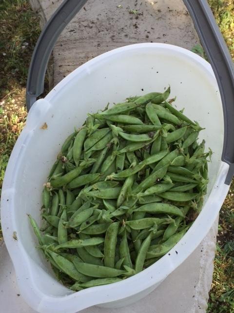 garden snap peas.jpg