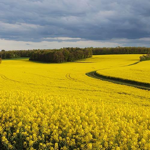 rapeseed_field.jpg