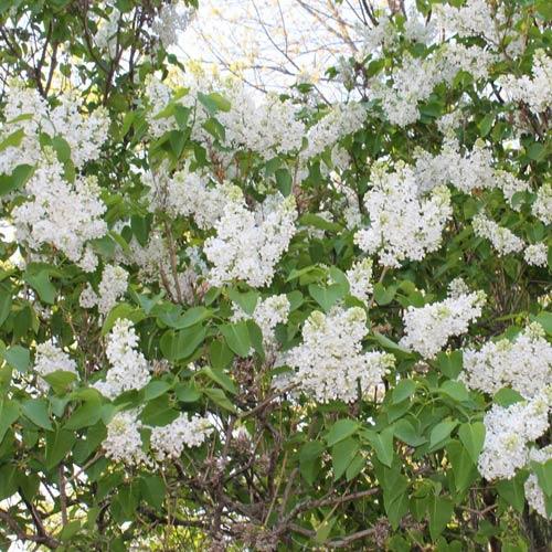 white_lilac_tree.jpg