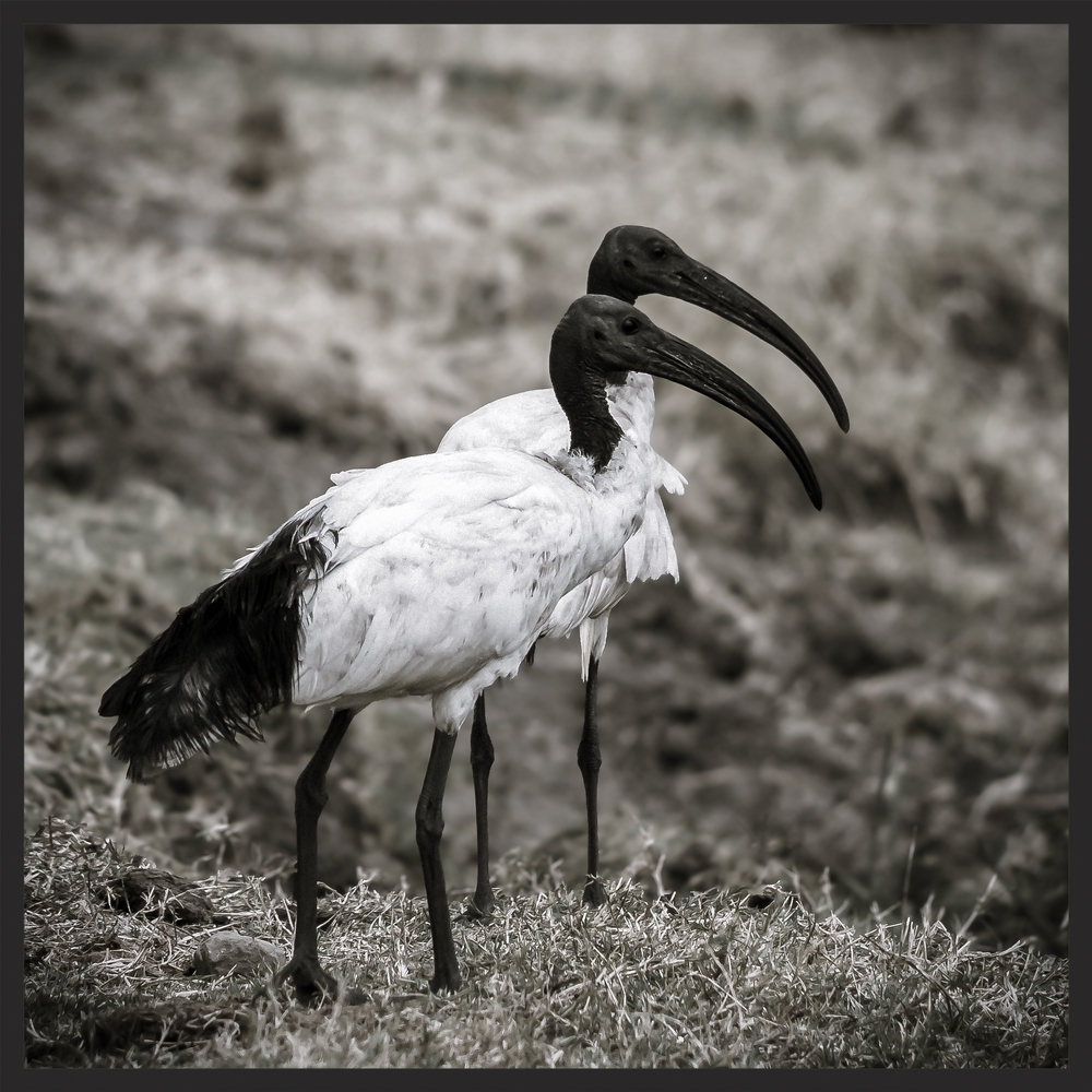 THOTH THE AFRICAN SACRED IBIS