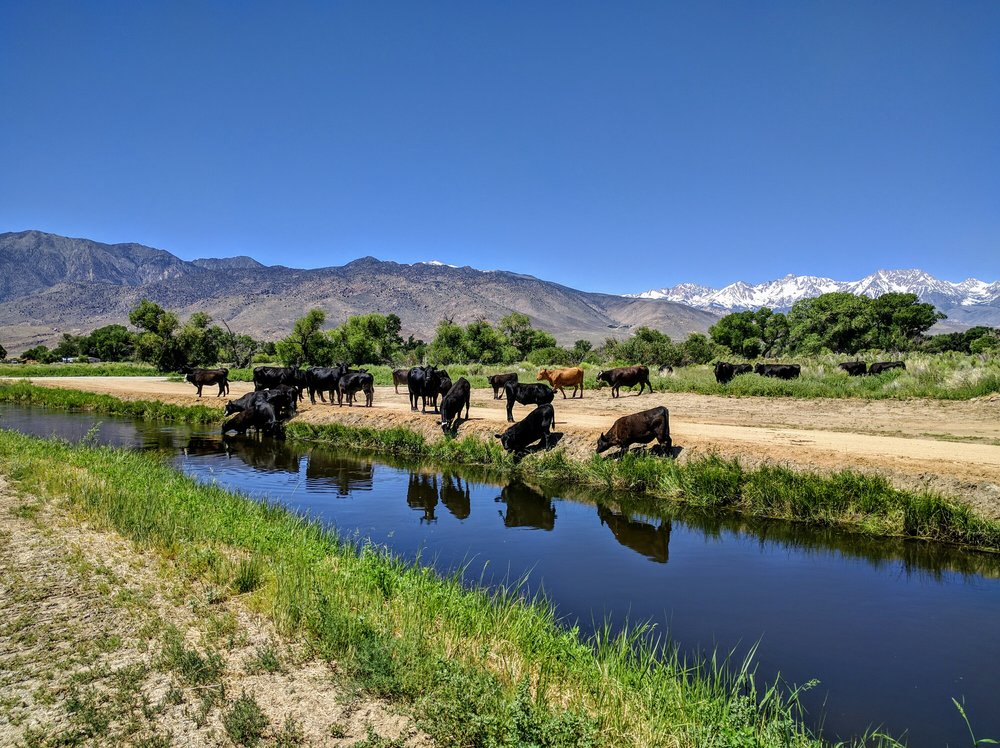 Grazing cows along the canal.