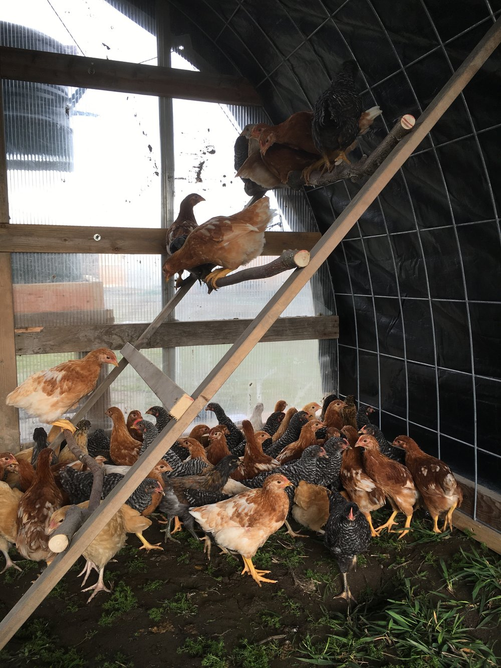 The chickies in their new coop...still a little shell-shocked from the move but stoked about the grass!