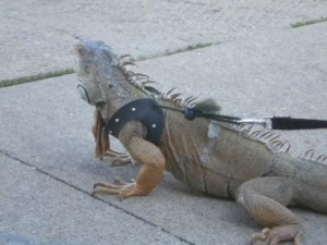 iguana on a leash