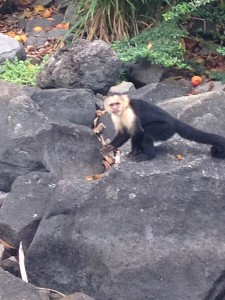 While not everyone on our trip was as excited about wild monkeys as I was, they said that my enthusiasm was contagious. Ha! We were all pretty excited to see this guy down on the ground!