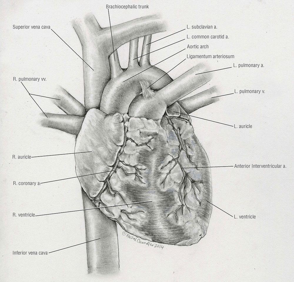 REAL_HEART.jpg
