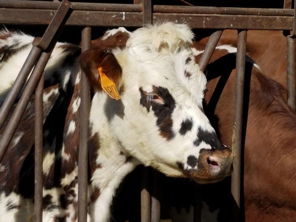Dreamy Ayrshire cow