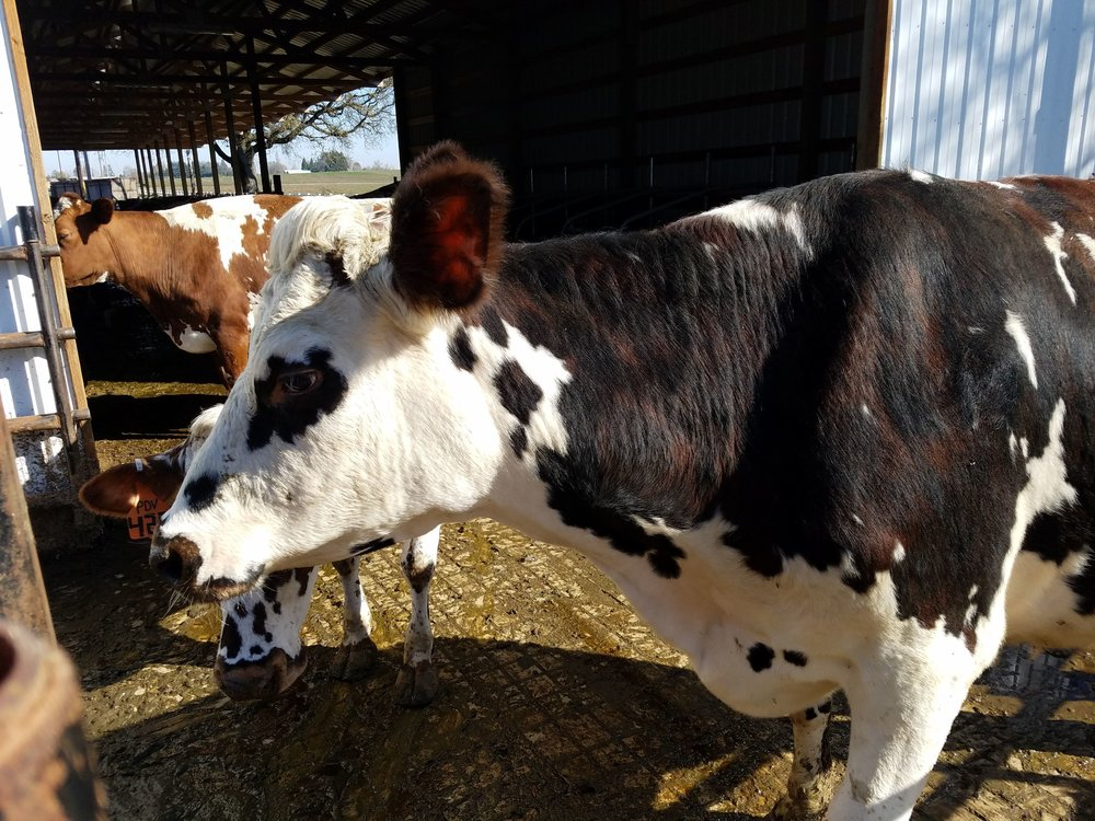 Organic Ayrshire cow